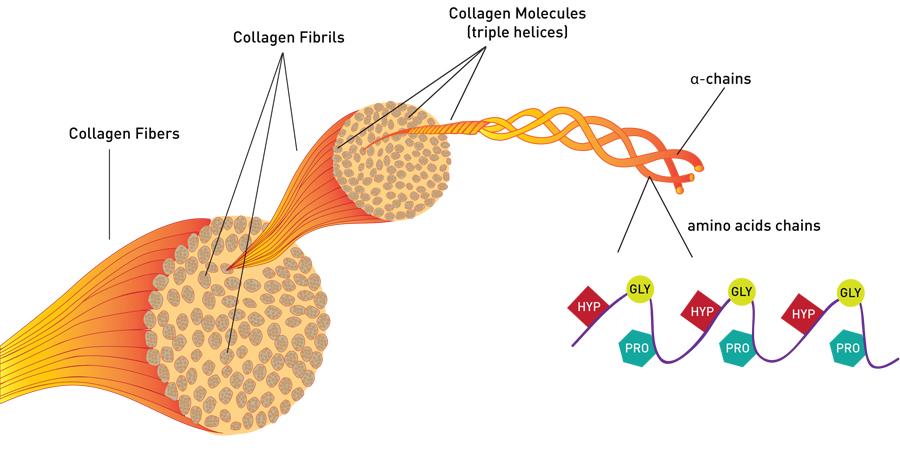 collagene struttura