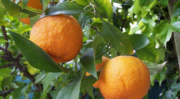 Arancio amaro: proprietà, benefici, utilizzi e controindicazioni