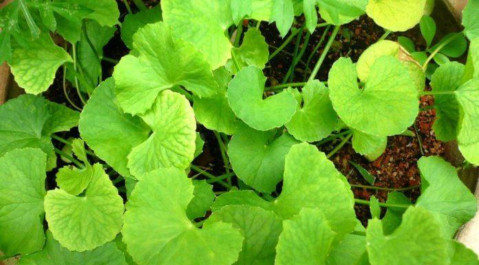 Centella Asiatica: che cos'è, proprietà, utilizzi e controindicazioni