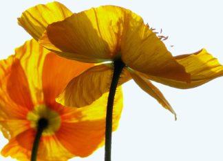 Papavero Giallo: proprietà benefiche e utilizzi