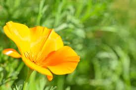 papavero-giallo-proprieta-benefiche-e-utilizzi