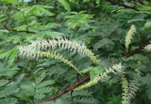 Mimosa tenuiflora (Tepezcohuite): proprietà e utilizzi