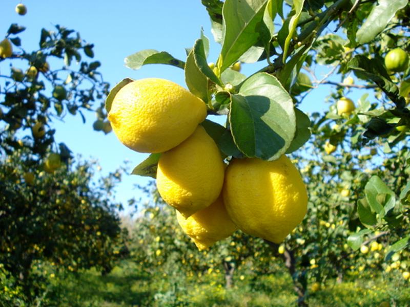 Cedro: proprietà, benefici, valori nutrizionali e utilizzi in cucina ...