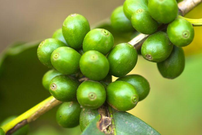 Coffea cruda: che cos'è, a cosa serve, storia e utilizzi omeopatici