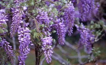 Glicine: che cos'è, fioritura, potatura e coltivazione