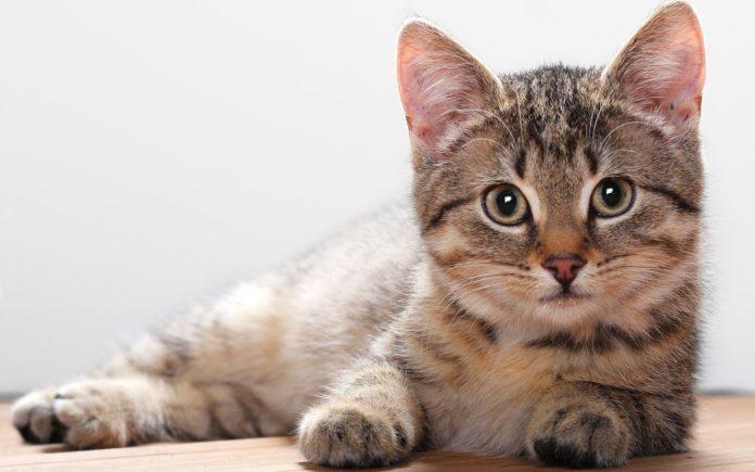 Scoperto nei gatti virus simile all'Epatite B