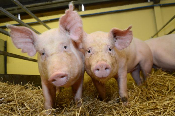 Virus mortale dei maiali delta coronavirus potrebbe attaccare l'uomo