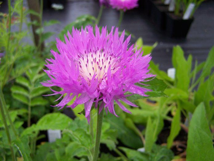 Centaurea: che cos'è, proprietà, benefici, utilizzi e controindicazioni