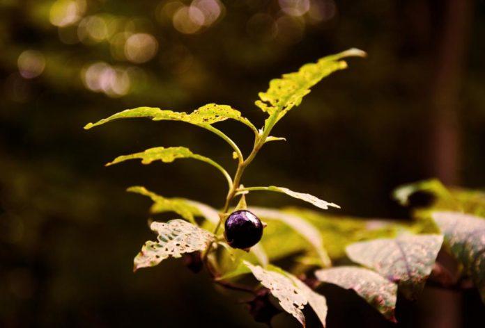 Belladonna: che cos'è, proprietà, benefici, utilizzi e controindicazioni