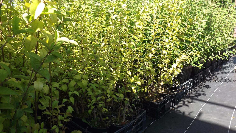 Arbusto Boschivo Dai Fiori Gialli.Ligustro Che Cos E Proprieta Benefici E Utilizzi In Cucina