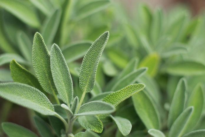 Salvia: che cos'è, proprietà, benefici e utilizzi in cucina