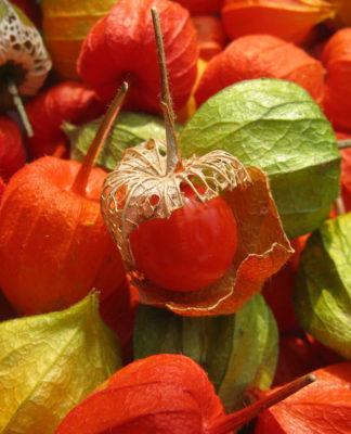 Alkekengi: che cos'è, proprietà, benefici, valori nutrizionali, utilizzi e controindicazioni