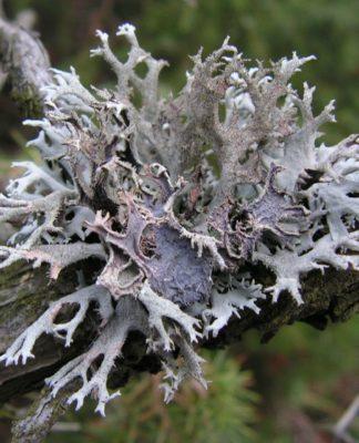 Lichene Islandico: che cos'è, proprietà, utilizzi e controindicazioni