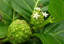 Noni (Morinda citrifolia): che cos'è, proprietà, utilizzi e controindicazioni