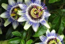Passiflora: che cos'è, proprietà, benefici, utilizzi e controindicazioni
