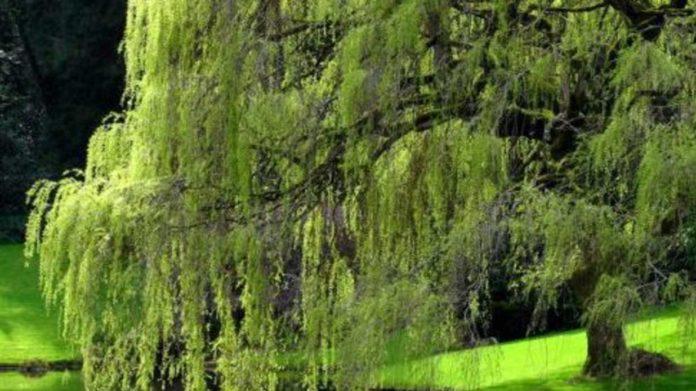 Salice: che cos'è, proprietà, utilizzi e controindicazioni