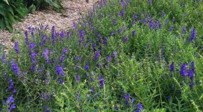Scutellaria: che cos'è, proprietà, benefici e controindicazioni