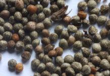 Semi di perilla: che cos'è, proprietà, utilizzi e controindicazioni