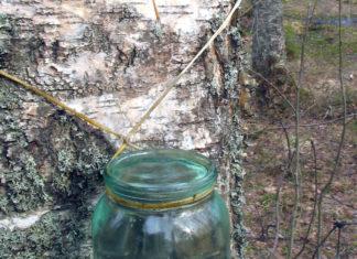 Linfa di Betulla: che cos'è, proprietà, utilizzi e controindicazioni