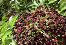 Bacche di Sambuco: cosa sono, proprietà, benefici e utilizzi
