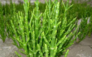 Salicornia: che cos'è, a cosa serve, proprietà ed utilizzi