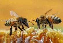 Il veleno delle api da miele è in grado di uccidere rapidamente le cellule di cancro al seno: lo studio
